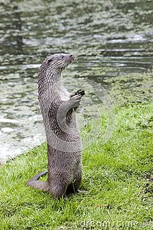 Free European Otter Stock Images - 835824