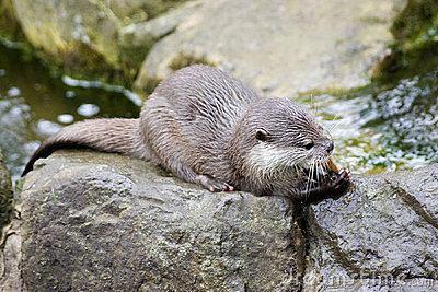 Royalty free stock photography european otter eating fish