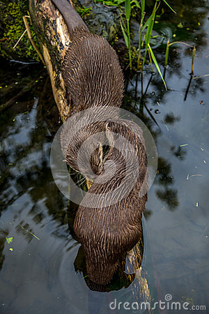 European Otters, cleaning eachother