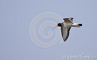 European Oystercatcher in Flight