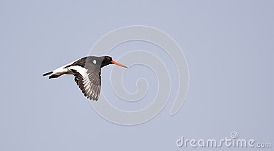 European Oystercatcher in Flight