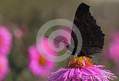 Black butterfly on flower