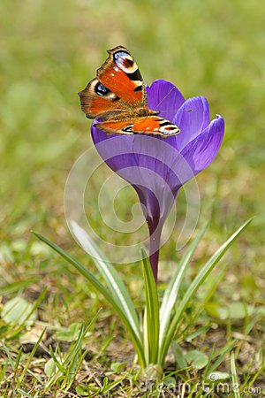 Free European Peacock Inachis Io And Crocus Crocus L. Saffron In The Spring Royalty Free Stock Image - 84791956