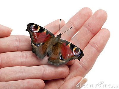 European Peacock moth, Inachis io, on a hand