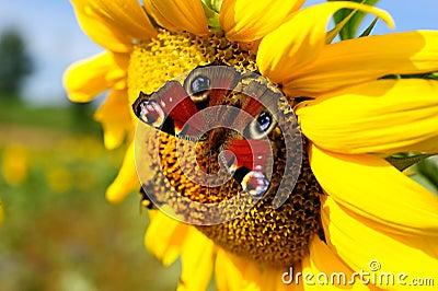 European Peacock (Nymphalis io) on Sunflower