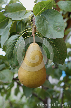 Free European Pear Branch With One Fall Colour Fruit  Bosc  Stock Image - 76562751
