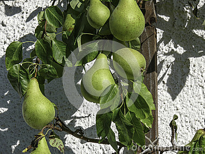 European Pears Warmed by the Sun