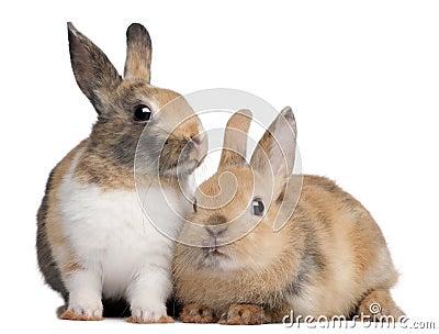 European Rabbits, Oryctolagus cuniculus, sitting