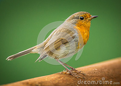 European robin bird
