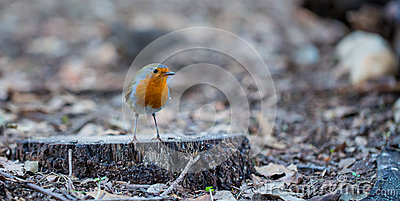 European Robin on ground