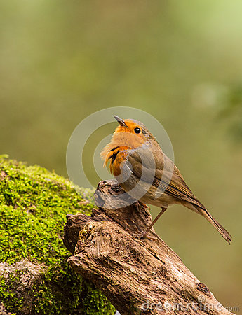 European Robin on log with moss