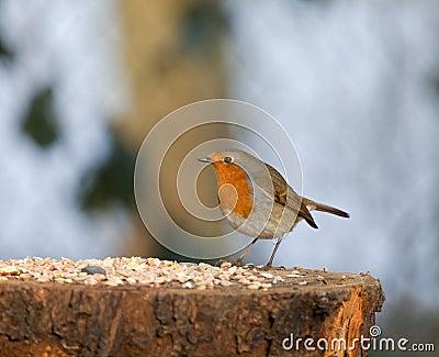 European Robin with seed