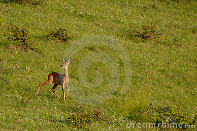 European roe deer
