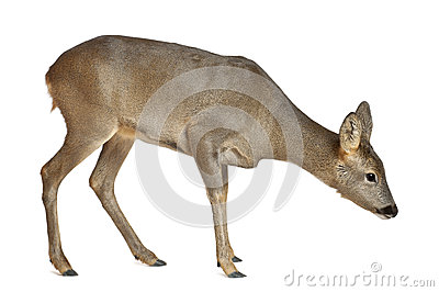 European Roe Deer, Capreolus capreolus