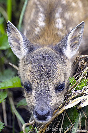 European Roe Deer Fawn
