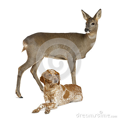 European Roe Deer standing with dog lying