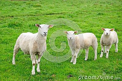 European sheep