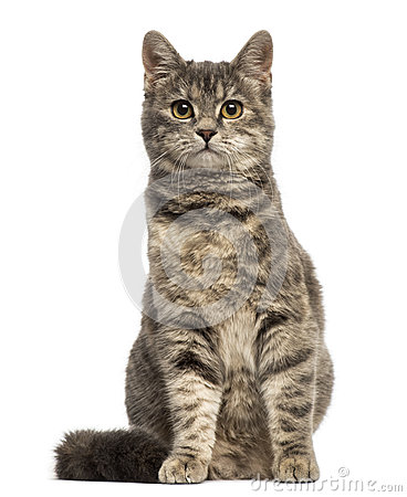 Free European Shorthair (6 Months Old) Sitting Royalty Free Stock Photos - 40311098