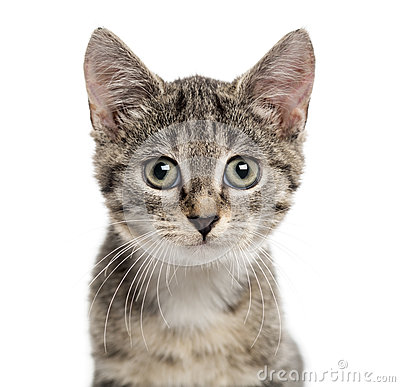 Free European Shorthair Kitten Looking The Camera, Isolated On White Stock Photo - 67202090