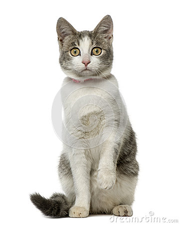 Free European Shorthair Sitting And Looking At The Camera Stock Photography - 72546882