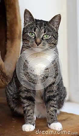 Free European Shorthair Tabby Cat Stock Image - 48466331