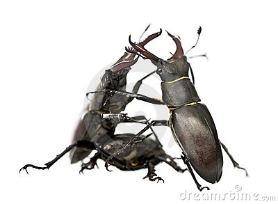 European Stag beetles against white background