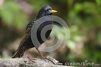 European Starling (Sturnus vulgaris vulgaris)