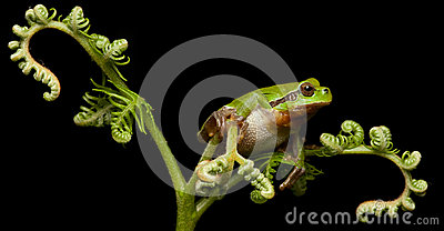 European tree frog crawling at night