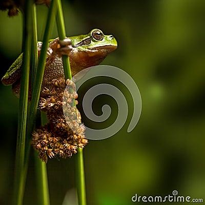 European tree frog crawling at night