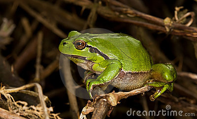 European treefrog (Hyla arborea) ready to make