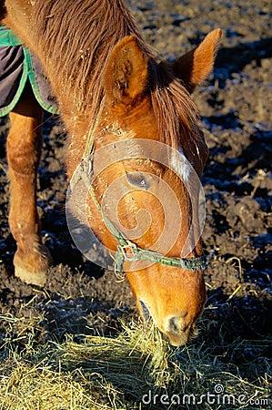 European warmblood horse in Winter feeding on hay