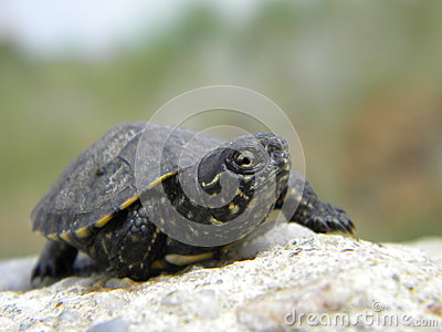 European water turtle baby