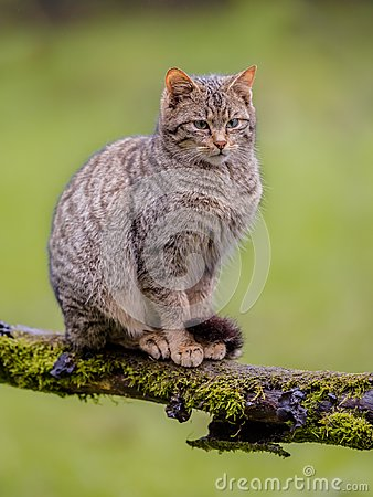 Free European Wild Cat Sitting On A Branch Royalty Free Stock Photography - 116615657