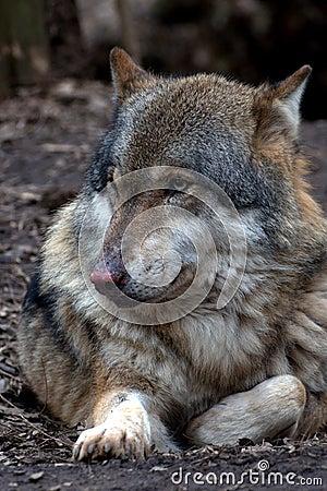 European wolf - Canis lupus lupus