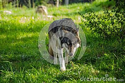 European Wolf prowling