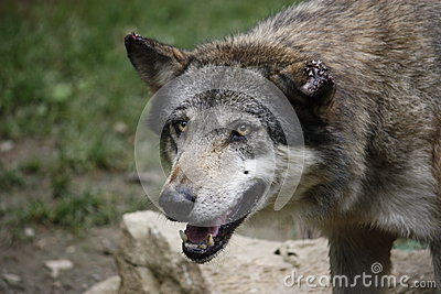 European Wolf With Scarred Ears Stock Photo - Image: 45572288