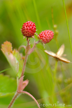 European wood wild strawberry,