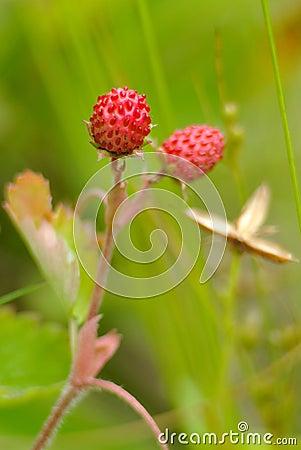 European wood wild strawberry,