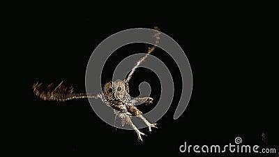 Europees-Aziatisch Tawny Owl, strix aluco, Volwassene tijdens de vlucht, Normandië, stock video