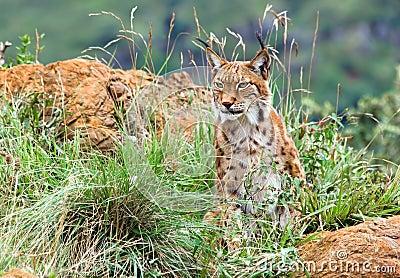 Europees-Aziatische lynx