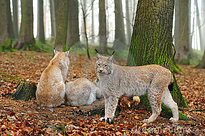 Europees-Aziatische lynx (de lynx van de Lynx)