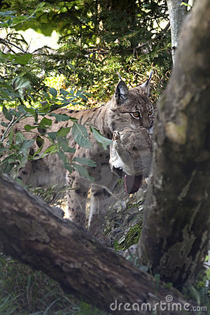 Europees-Aziatische lynx (de lynx van de Lynx) met een prooi.