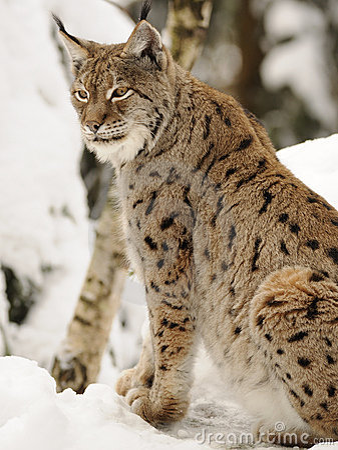 Europees-Aziatische lynx (lynxlynx)