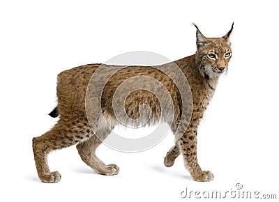Europees-Aziatische Lynx, lynxlynx, 5 jaar oud