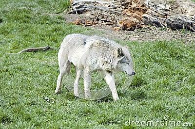 Europeisk grå lupuswolf för canis