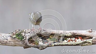 Europejski greenfinch, Chloris chloris, je ziarna i dokrętki na zima ptaka dozowniku femaleness zdjęcie wideo