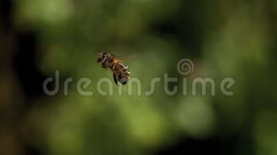 Europeo Honey Bee, apis mellifera, volo adulto contro il fondo verde, stock footage