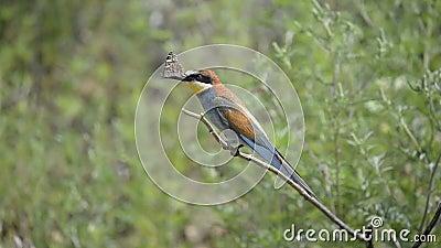 Europese bij-eter vogel op een tak stock videobeelden