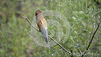 Europese bij-eter vogel op een tak stock video