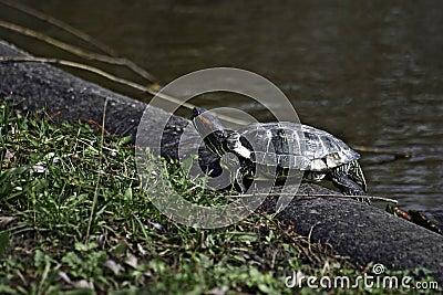 Europian river turtle